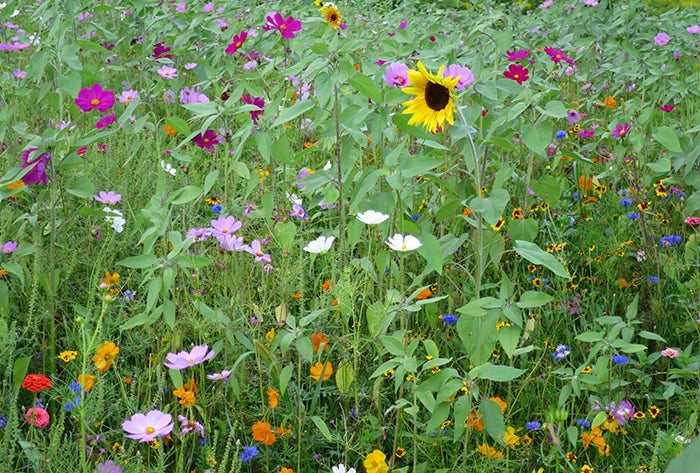 mixed-wildflower-meadow