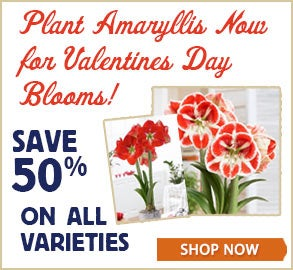 Plant Amaryllis for Valentines Day Blooms + Save 50%