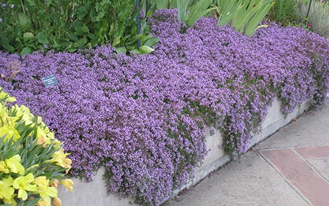 Creeping thyme different colors to choose from rare plants home garden 100 seeds