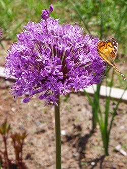 allium with butterfly