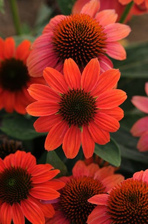 Echinacea Hot Coral