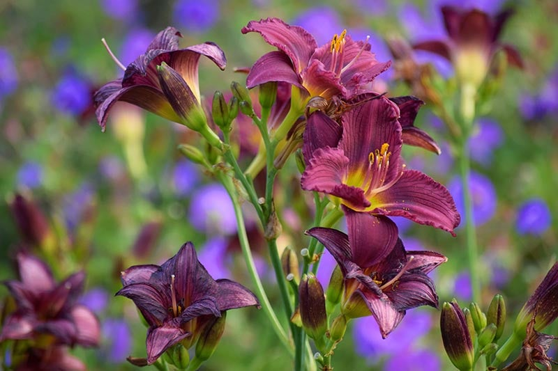 Group of Purple D'Oro Reblooming Daylily in Bloom