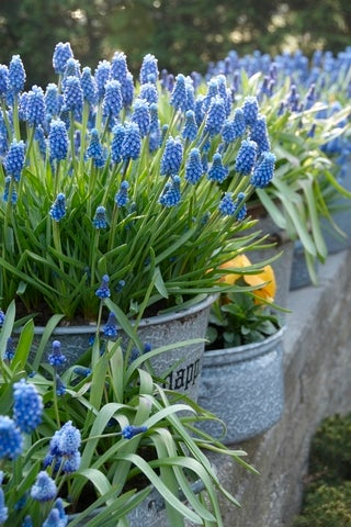 Grape hyacinths in tin containers