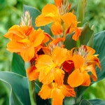 Canna_Orange_Magic_383x480_72_RGB