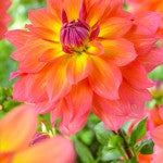 Dahlia_Fire_Pot__2__576x720_72_RGB