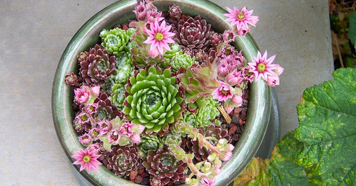 hens-and-chicks-container