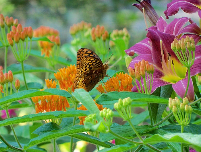 daylily-butterfly-weed