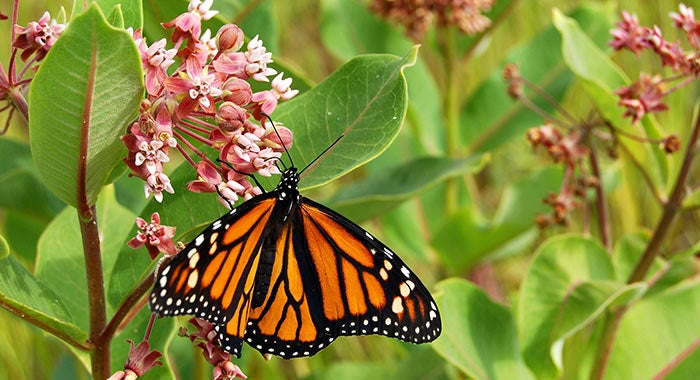 milkweed-monarch