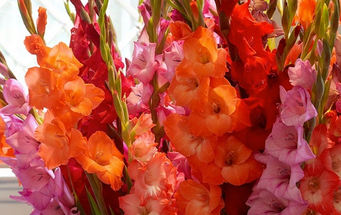 Gladiolus Summer Essentials Mixture