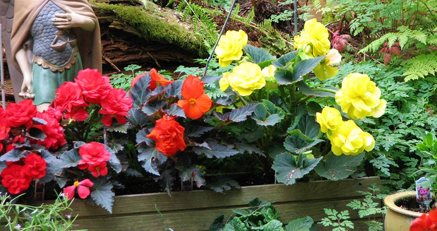 beautiful begonias in bloom