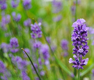 Lavender helps naturally repel Mosquitoes from your garden.