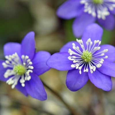 Hepatica is one of spring's earliest woodland wildflowers.