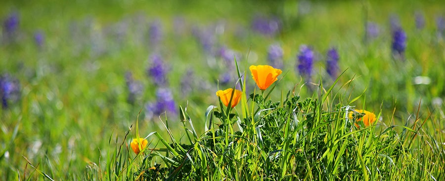 California Poppies and Arroyo Lupine blooming in California in March.
