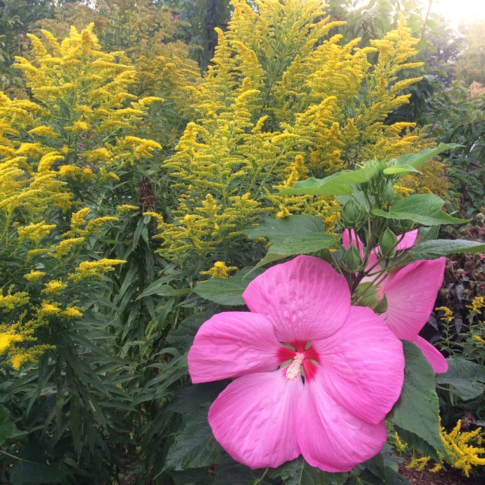 flowering goldenrod with hardy hibiscus