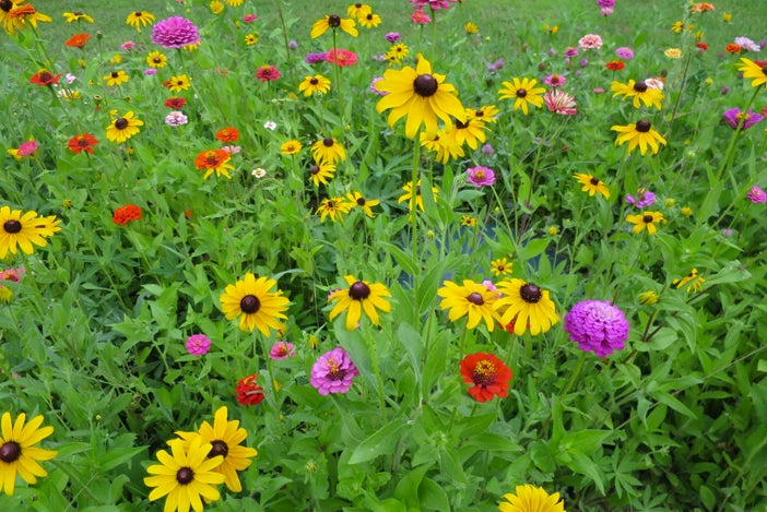 Zinnia and Black Eyed Susans in bloom