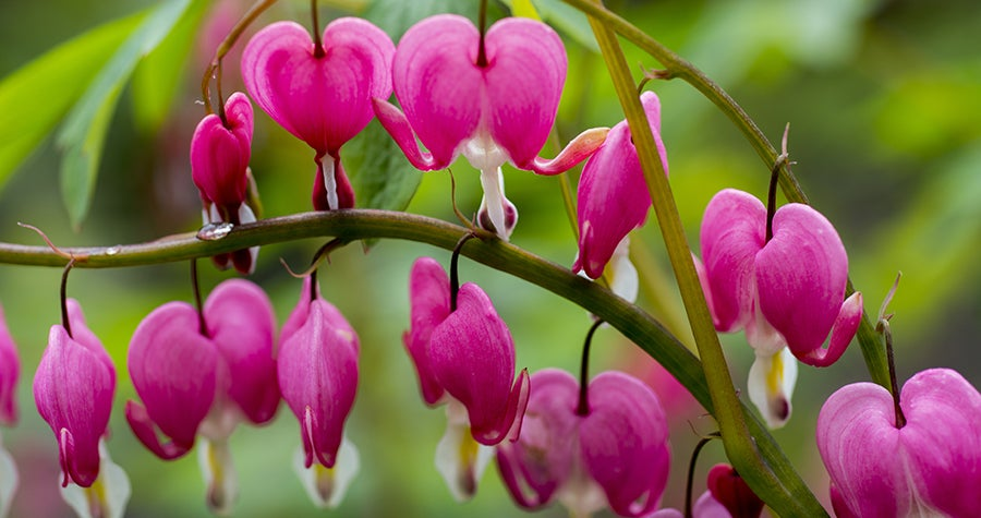 Bleeding hearts blooming in a shade garden