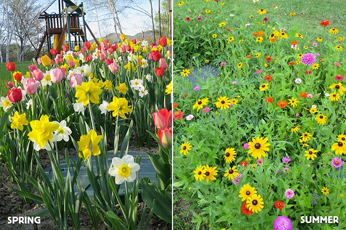 Daffodils, tulips, and wildflowers growing in a exmployees garden.