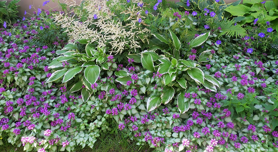 Garden filled with Hostas, Geranium and Lamium all in bloom