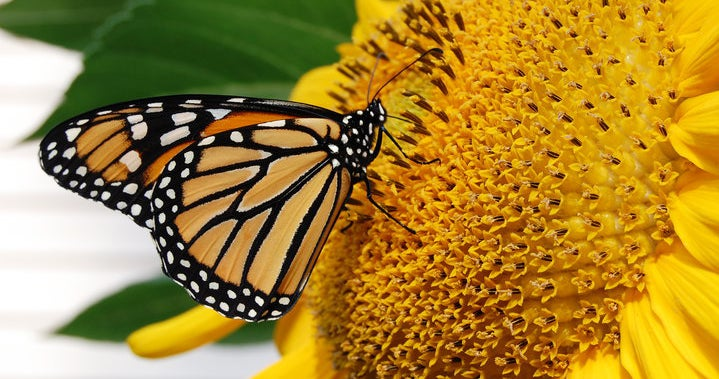 Monarch on a Yellow Sunflower