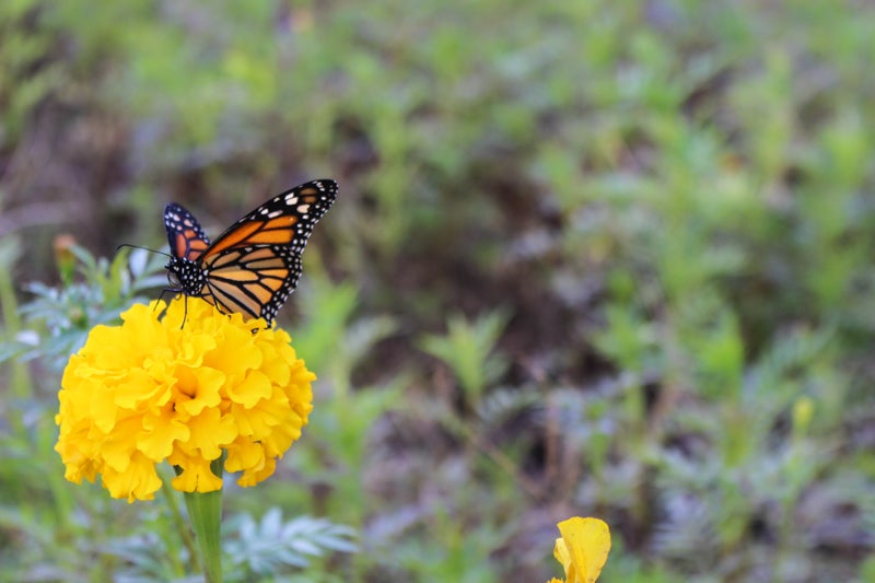 annual nectar plants in the monarch waystation