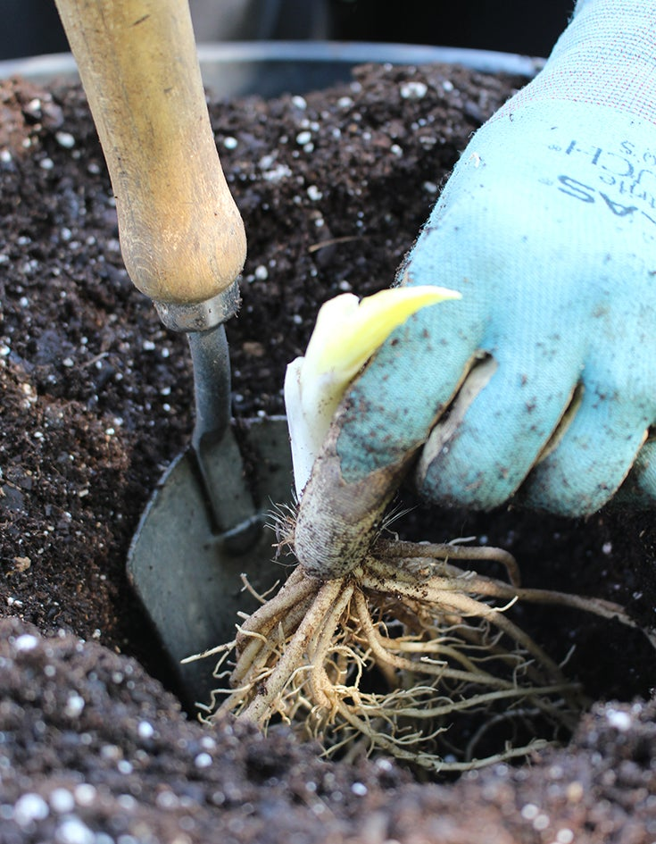How To Plant Bareroot And Potted Perennials
