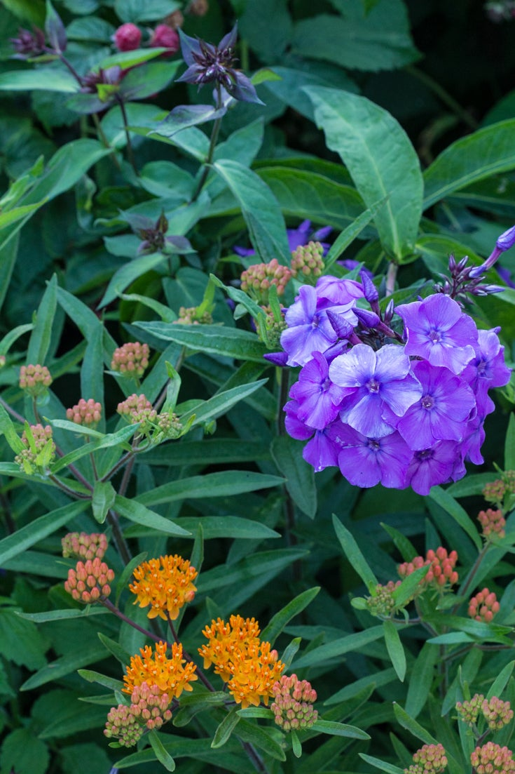 Raspberries Phlox and Butterfly Weed