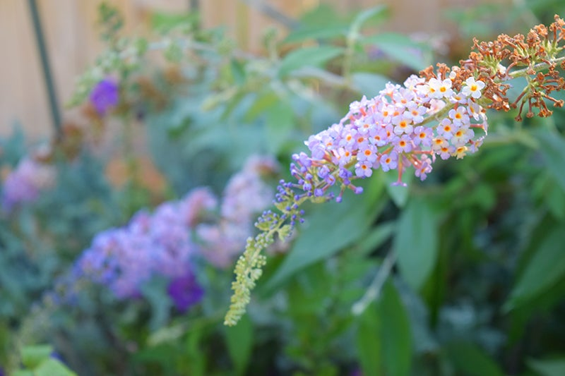 butterfly bush in a city garden