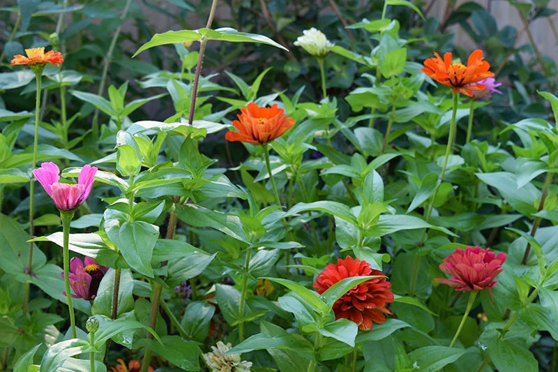 zinnias in a city garden