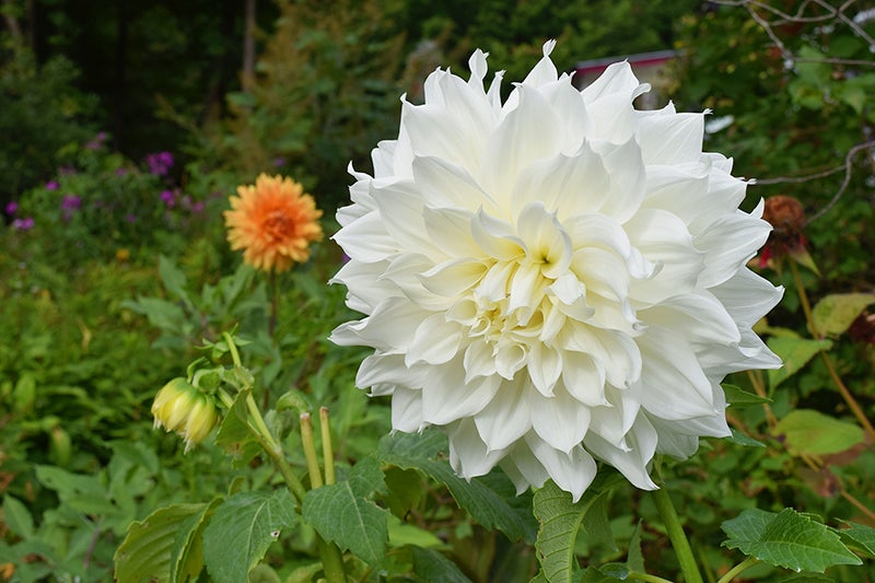 Growing Wedding Flowers, Dahlias