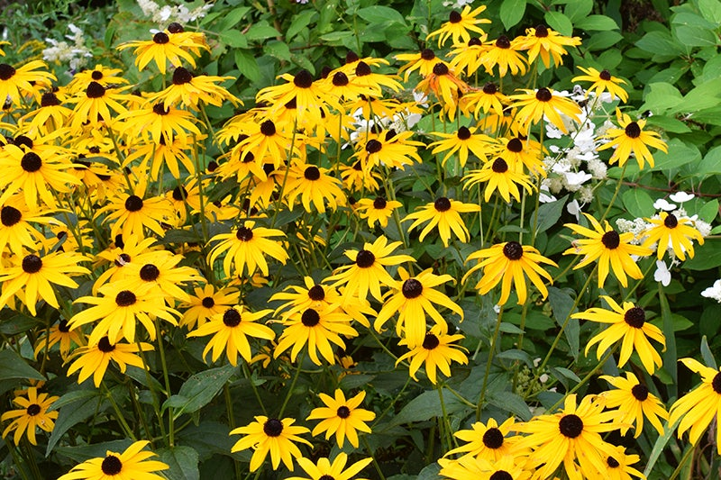 Growing Wedding Flowers, Black Eyed Susan