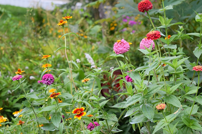 Growing Wedding Flowers, Zinnias