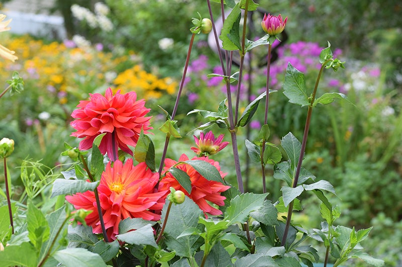 Growing Your Own Wedding Flowers, Dahlias