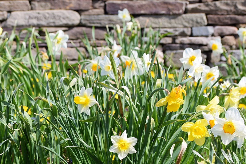daffodils in the Memorial Garden