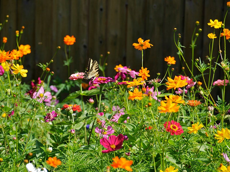 Garden Inspiration: Zinnia and Cosmos