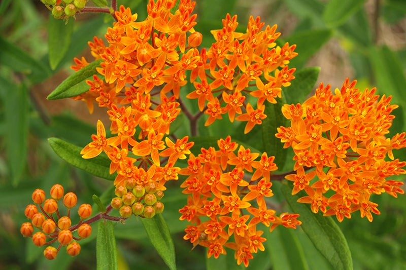 blooming asclepias plants