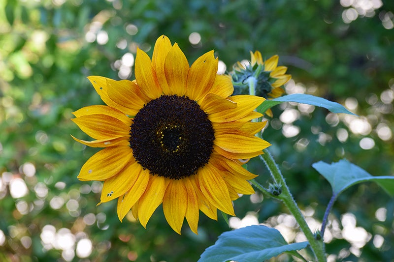 How To Harvest Sunflower Seeds for Planting, Roasting and
