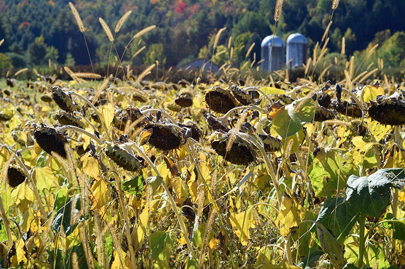 Harvest Sunflower Seeds: Field of Sunflowers