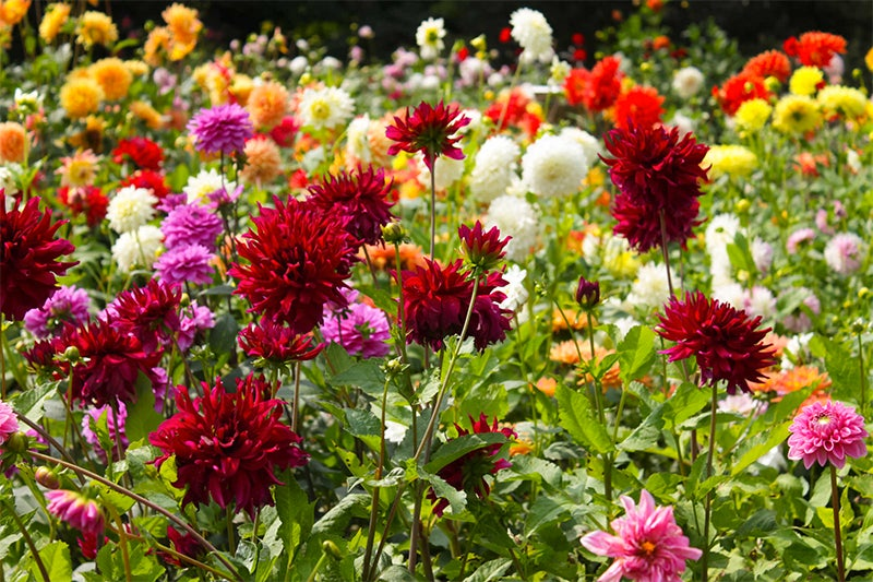 digging and storing dahlias, flowers in bloom