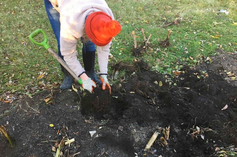 digging and storing dahlias, digging up