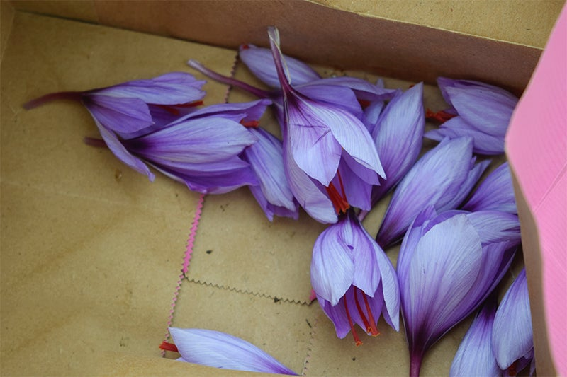 Growing Saffron, flower petals