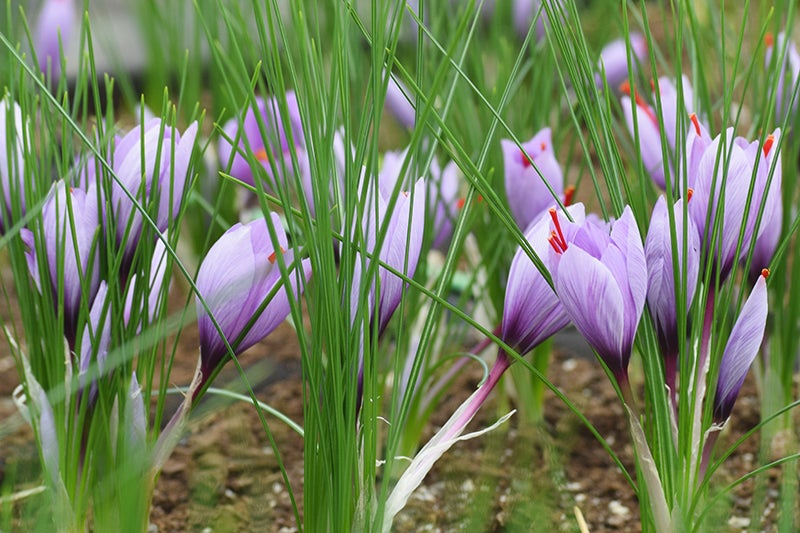 How to Grow Saffron, flowers in bloom