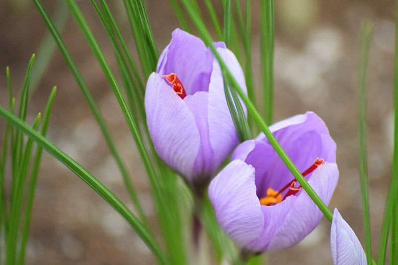 Purple Saffron Crocus in bloom