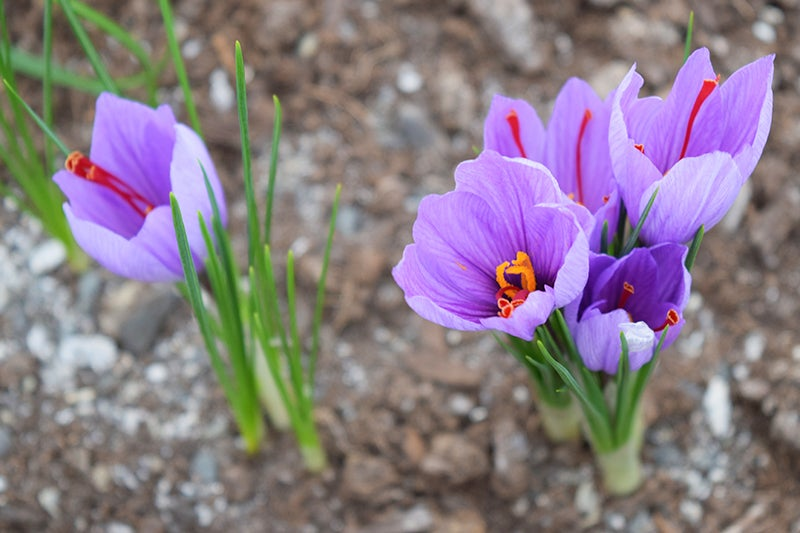 Growing Saffron, flowers in bloom