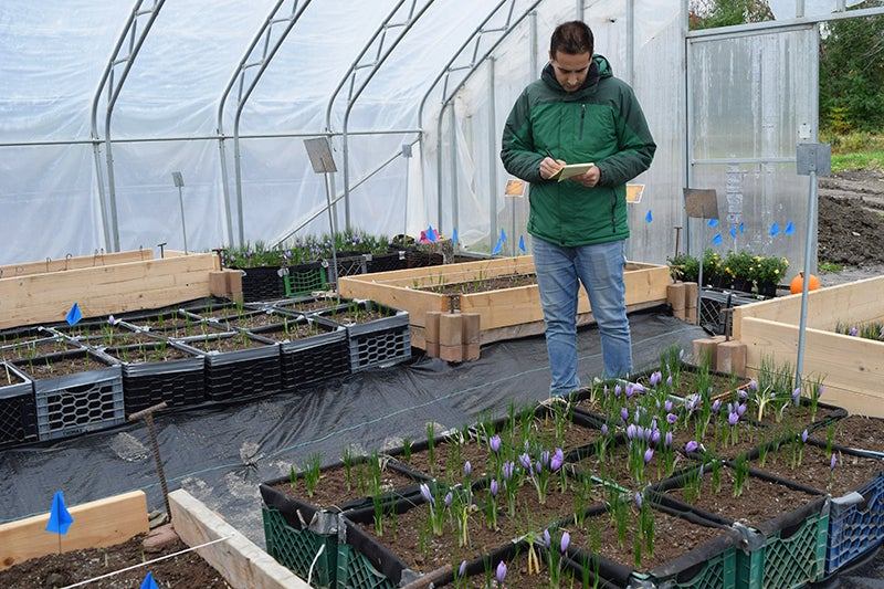 How to Grow Saffron, hoop house