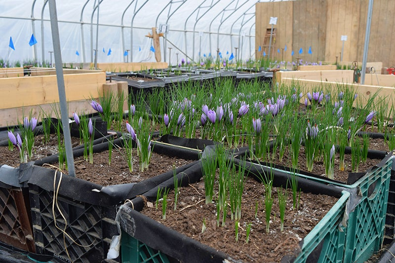 How to grow Saffron, hoop house in bloom