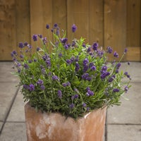 lavender mini blue in terra cotta pot