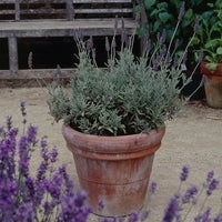 lavender Goodwin Creek in container