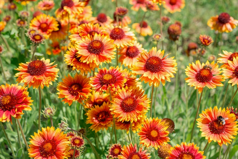 no green thumb required: blanket flower
