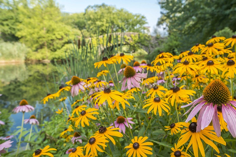 no green thumb required: echinacea and black eyed susan
