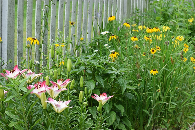garden reflections: lilies and sunflowers